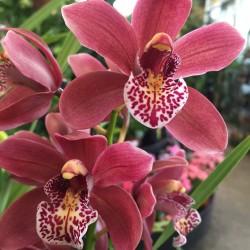 Orchid Cimbidium
